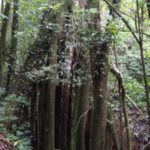 giant old fig tree san ramon costa rica for sale as part of lot 4 at RanchoSilencio